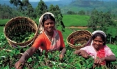 sri-lanka-tea-experience-holidays_p